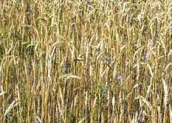 Het graan groeit